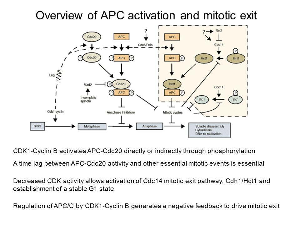 Overview of APC activation and mitotic exit