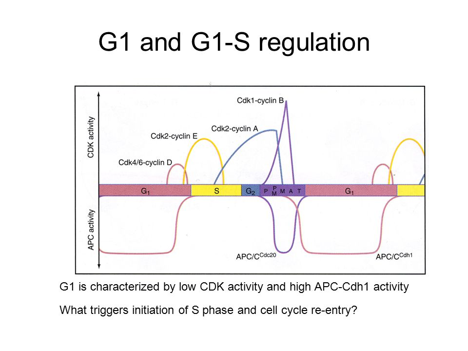 G1 and G1-S regulation G1 is characterized by low CDK activity and high APC-Cdh1 activity.