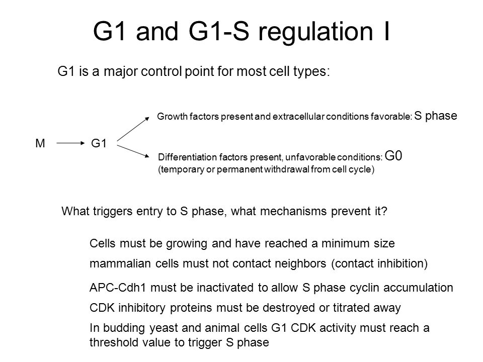 G1 and G1-S regulation I G1 is a major control point for most cell types: Growth factors present and extracellular conditions favorable: S phase.