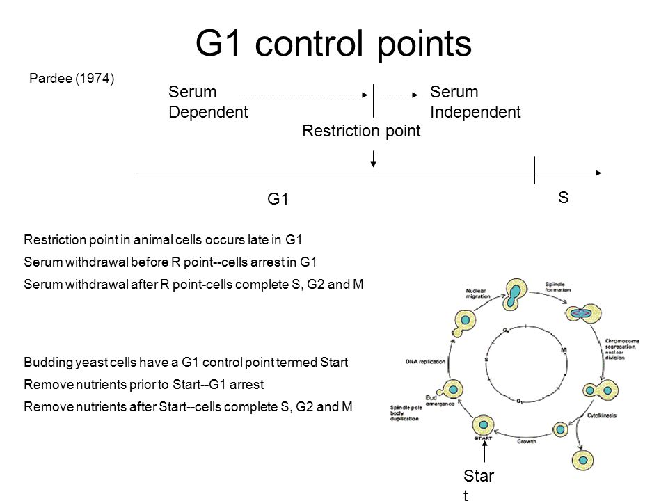G1 control points Restriction point G1 S Serum Dependent Independent