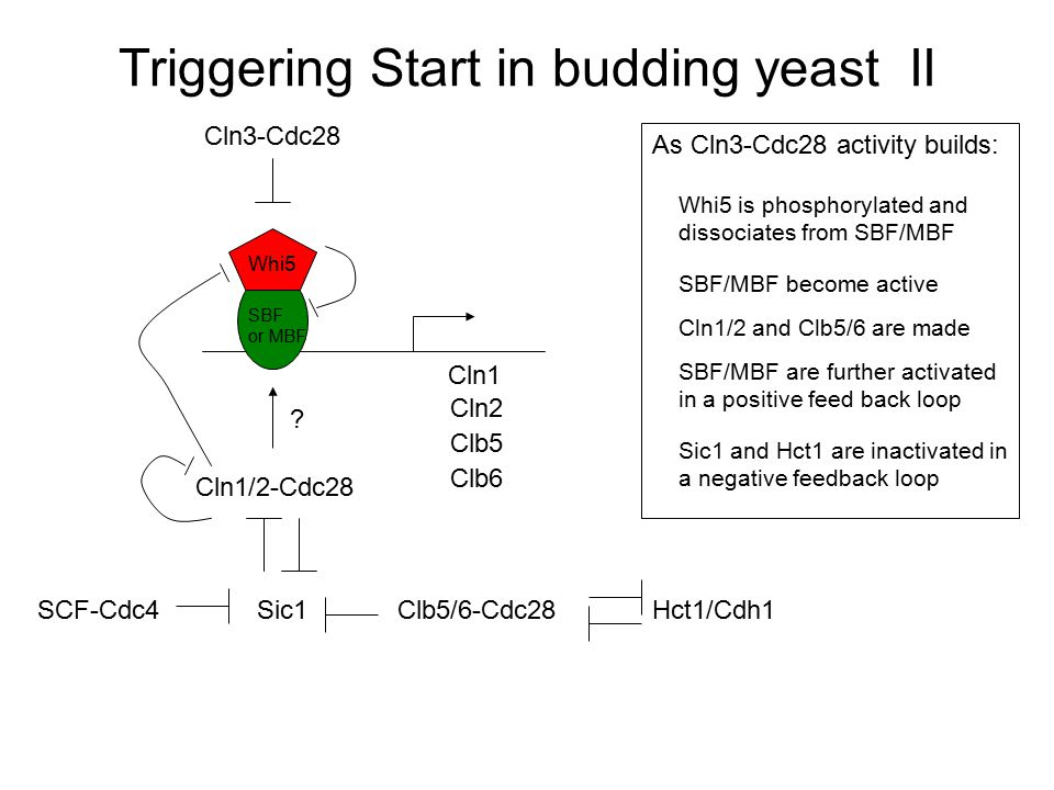 Triggering Start in budding yeast II
