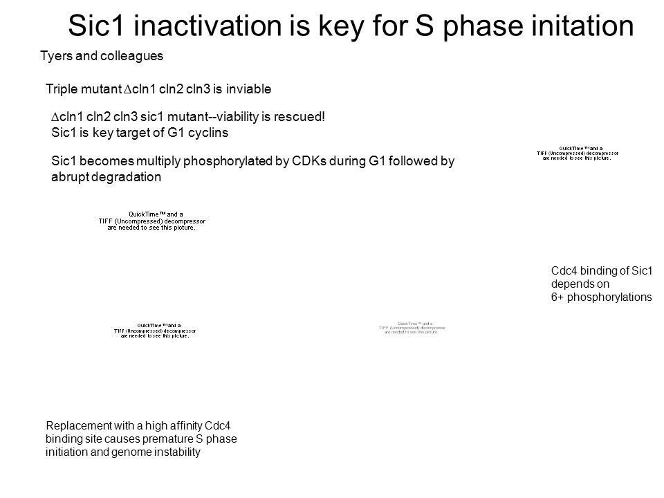 Sic1 inactivation is key for S phase initation