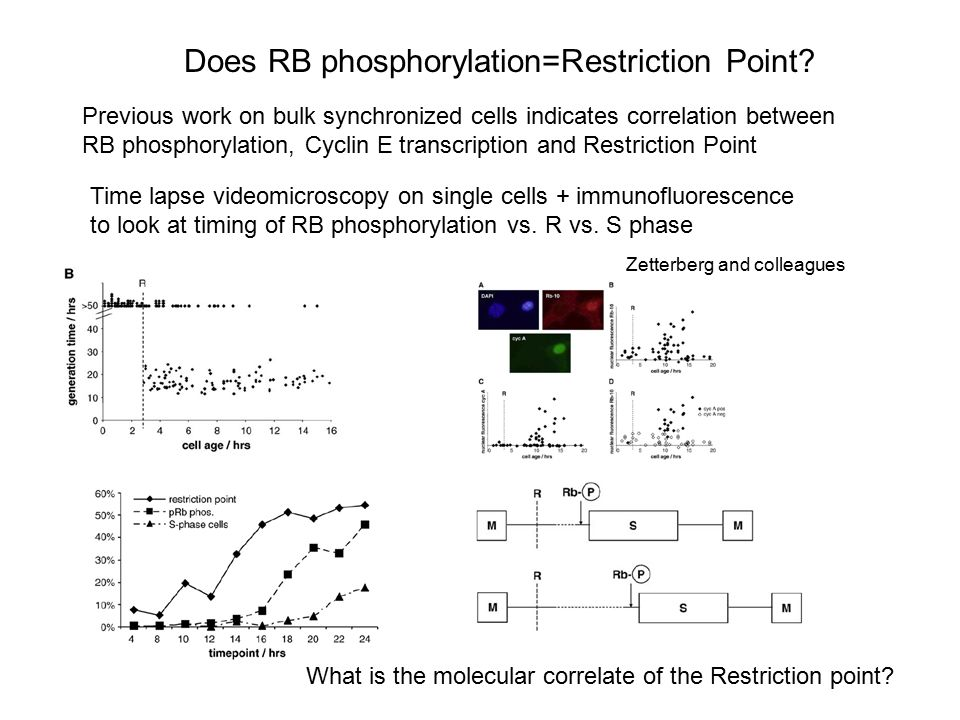 Does RB phosphorylation=Restriction Point
