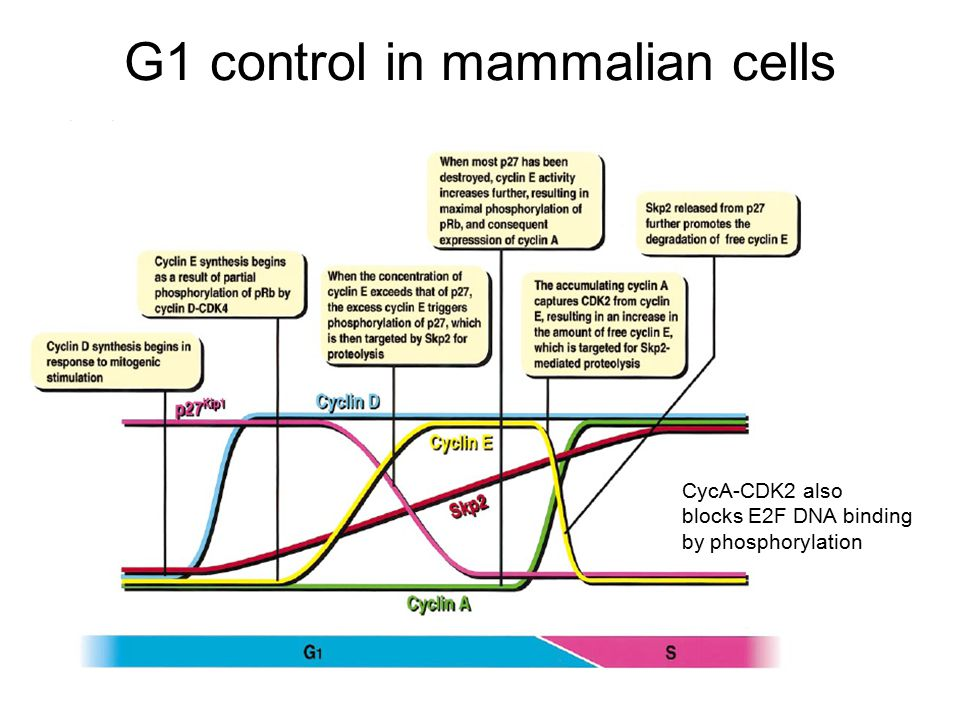 G1 control in mammalian cells