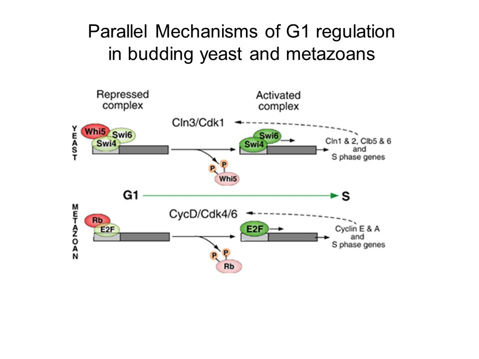 Parallel Mechanisms of G1 regulation in budding yeast and metazoans