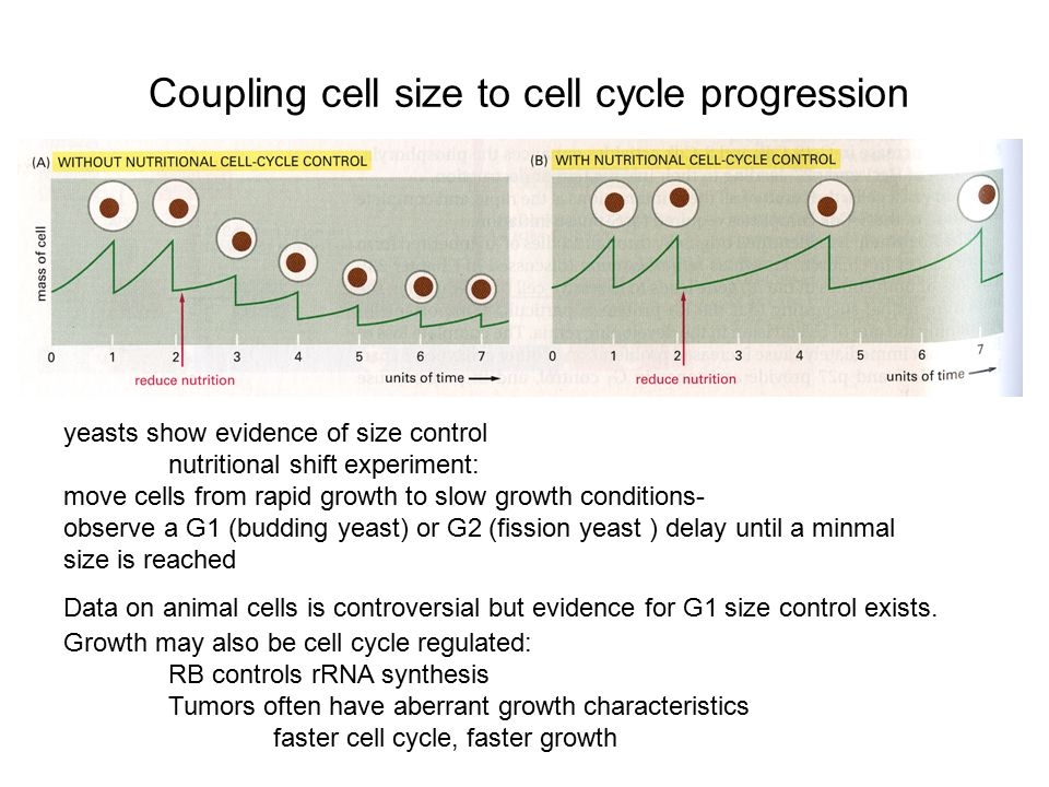 Coupling cell size to cell cycle progression