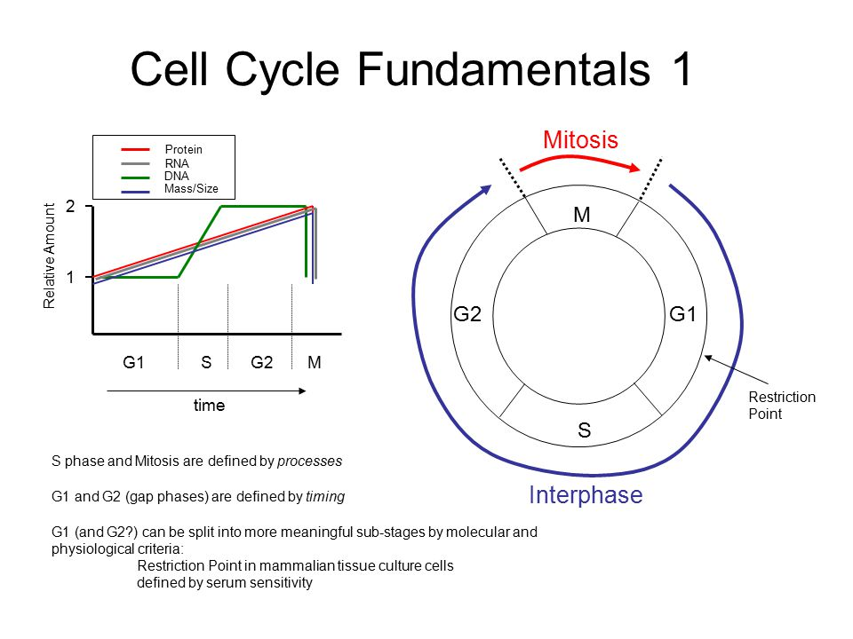 Cell Cycle Fundamentals 1