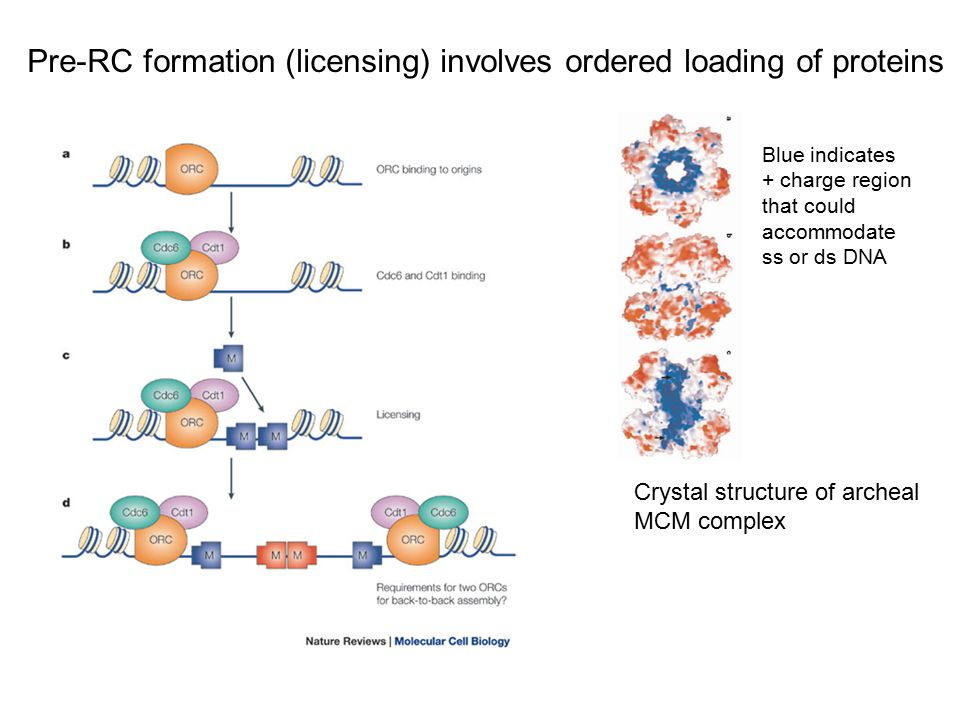 Pre-RC formation (licensing) involves ordered loading of proteins