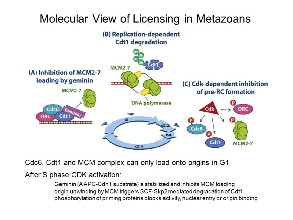 Molecular View of Licensing in Metazoans