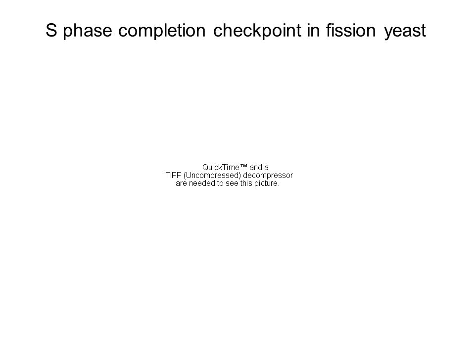 S phase completion checkpoint in fission yeast