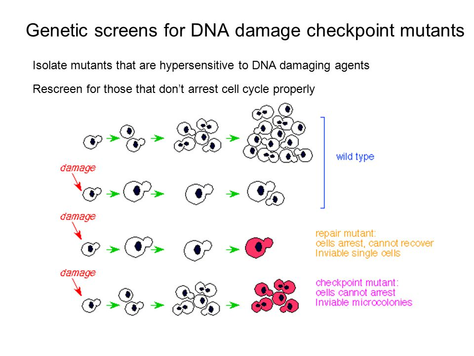 Genetic screens for DNA damage checkpoint mutants