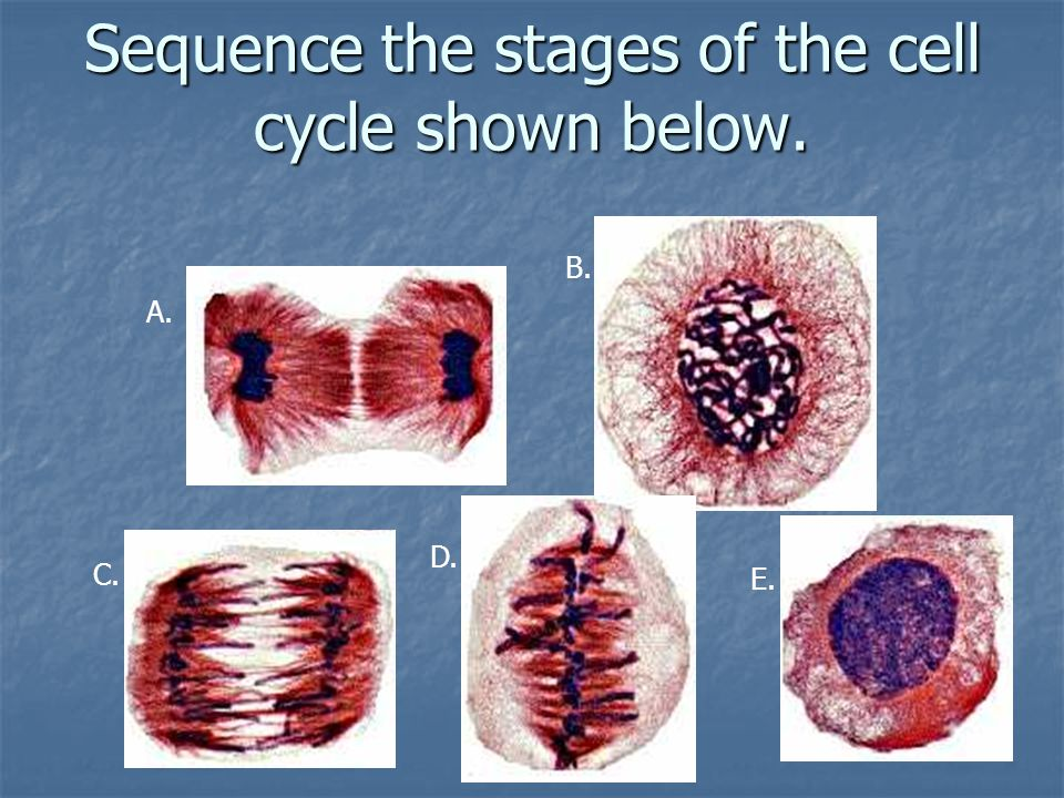 Sequence the stages of the cell cycle shown below.