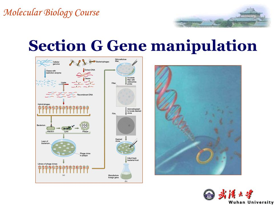Section G Gene manipulation