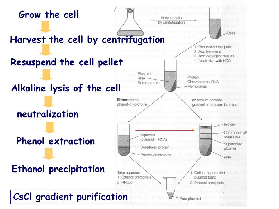 Grow the cell Harvest the cell by centrifugation. Resuspend the cell pellet. Alkaline lysis of the cell.