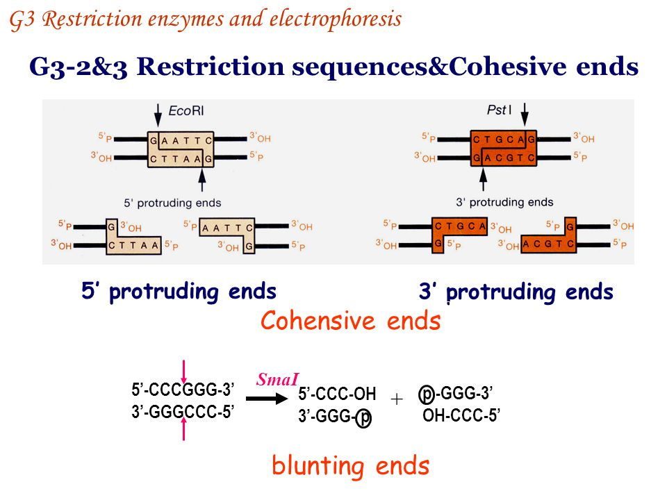 G3-2&3 Restriction sequences&Cohesive ends