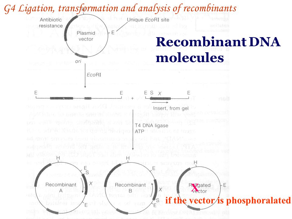 Recombinant DNA molecules