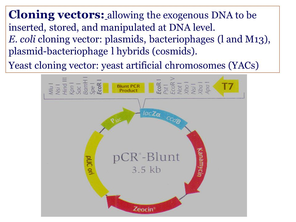 Cloning vectors: allowing the exogenous DNA to be inserted, stored, and manipulated at DNA level.