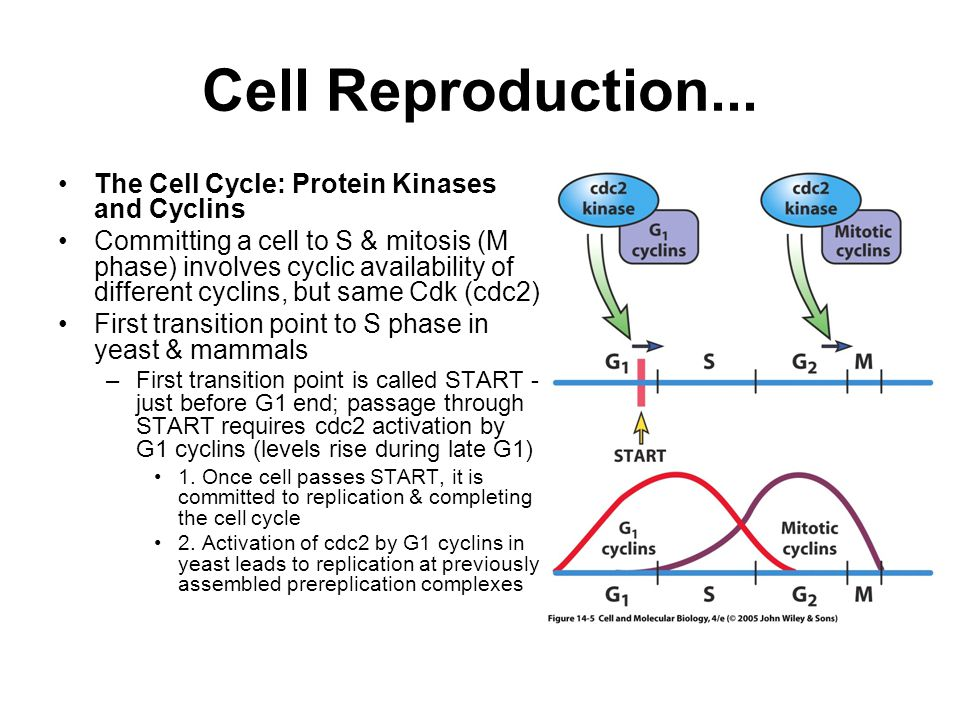 Cell Reproduction... The Cell Cycle: Protein Kinases and Cyclins