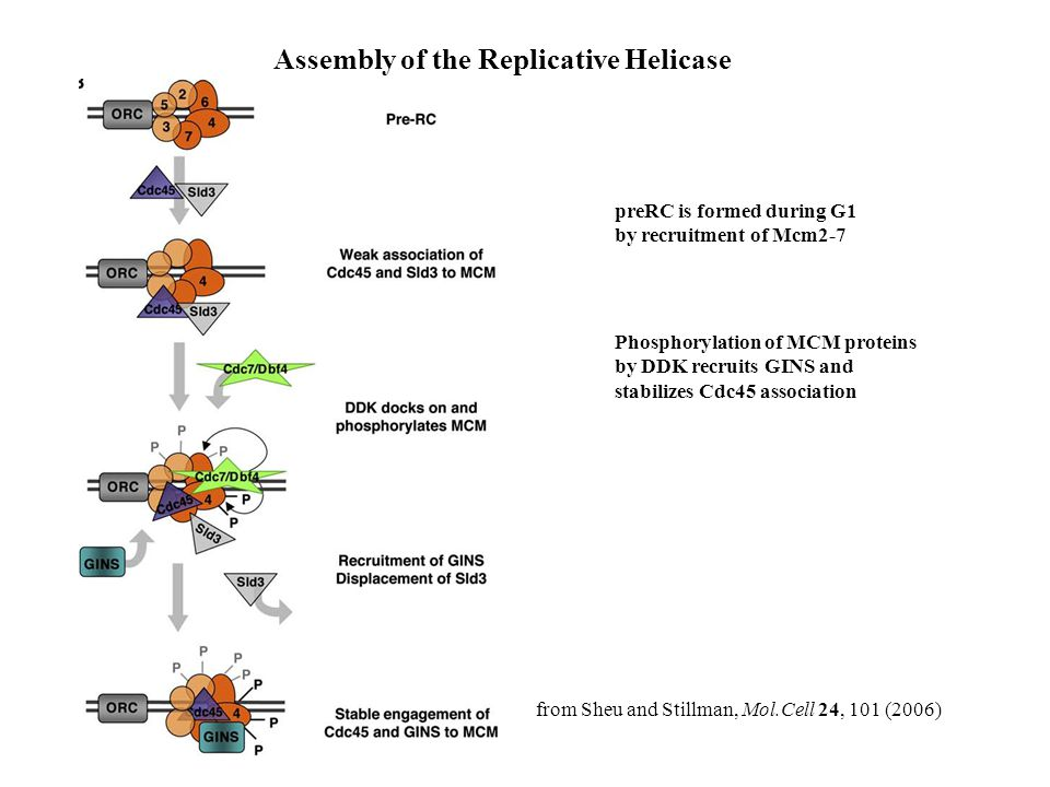 Assembly of the Replicative Helicase
