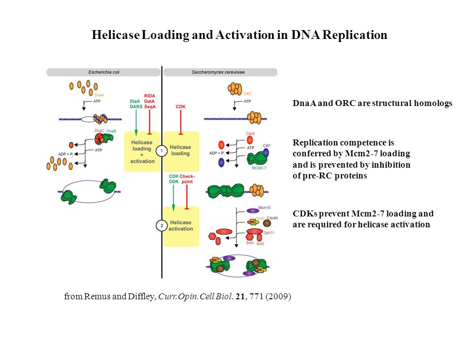 Helicase Loading and Activation in DNA Replication