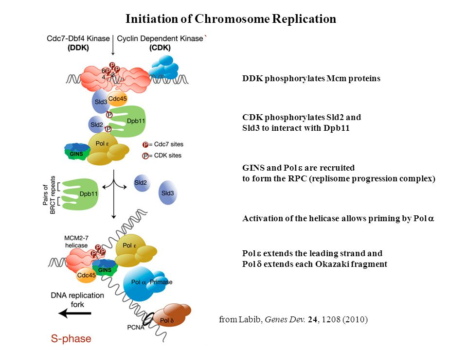 Initiation of Chromosome Replication