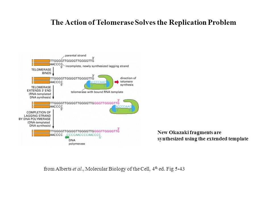 The Action of Telomerase Solves the Replication Problem