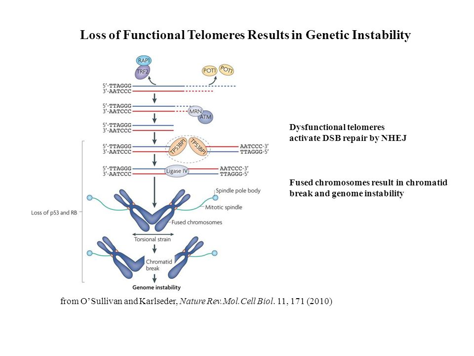 Loss of Functional Telomeres Results in Genetic Instability