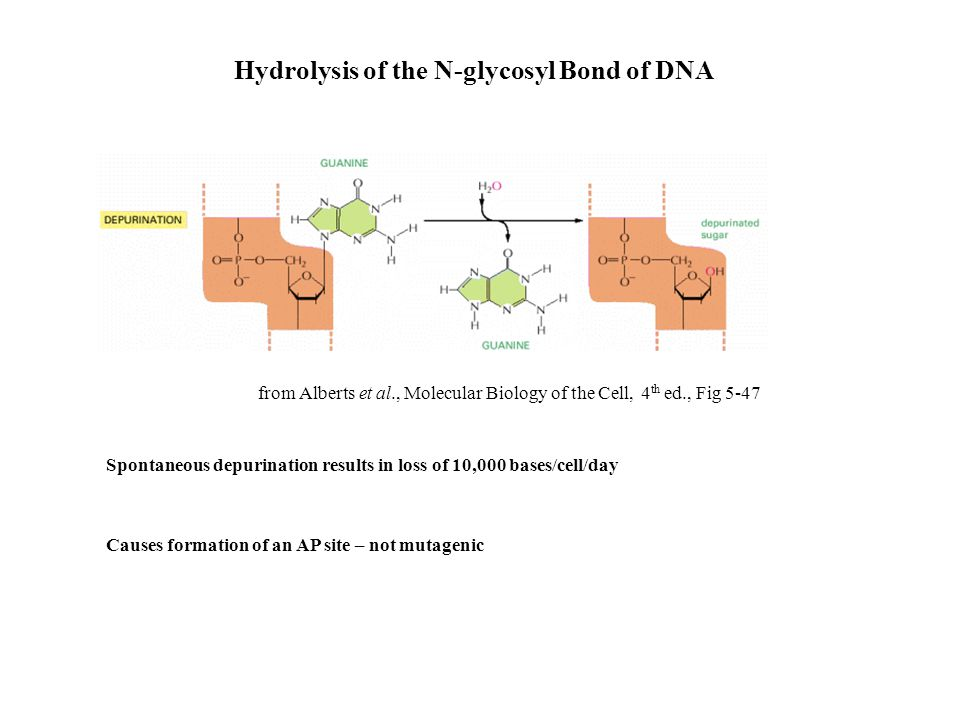 Hydrolysis of the N-glycosyl Bond of DNA