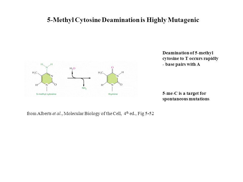 5-Methyl Cytosine Deamination is Highly Mutagenic