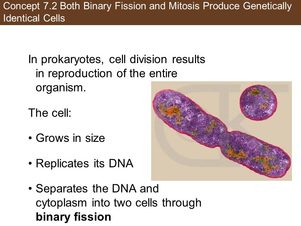 Separates the DNA and cytoplasm into two cells through binary fission