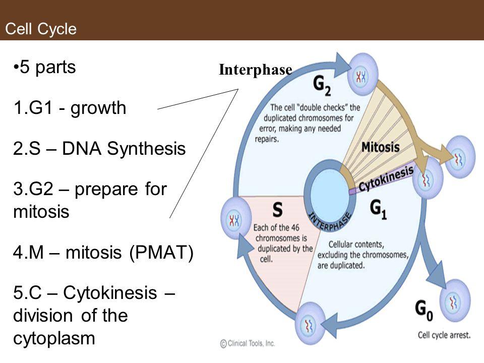 C – Cytokinesis – division of the cytoplasm