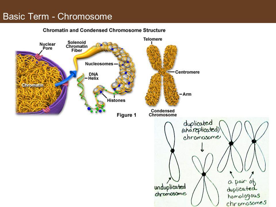 Basic Term - Chromosome
