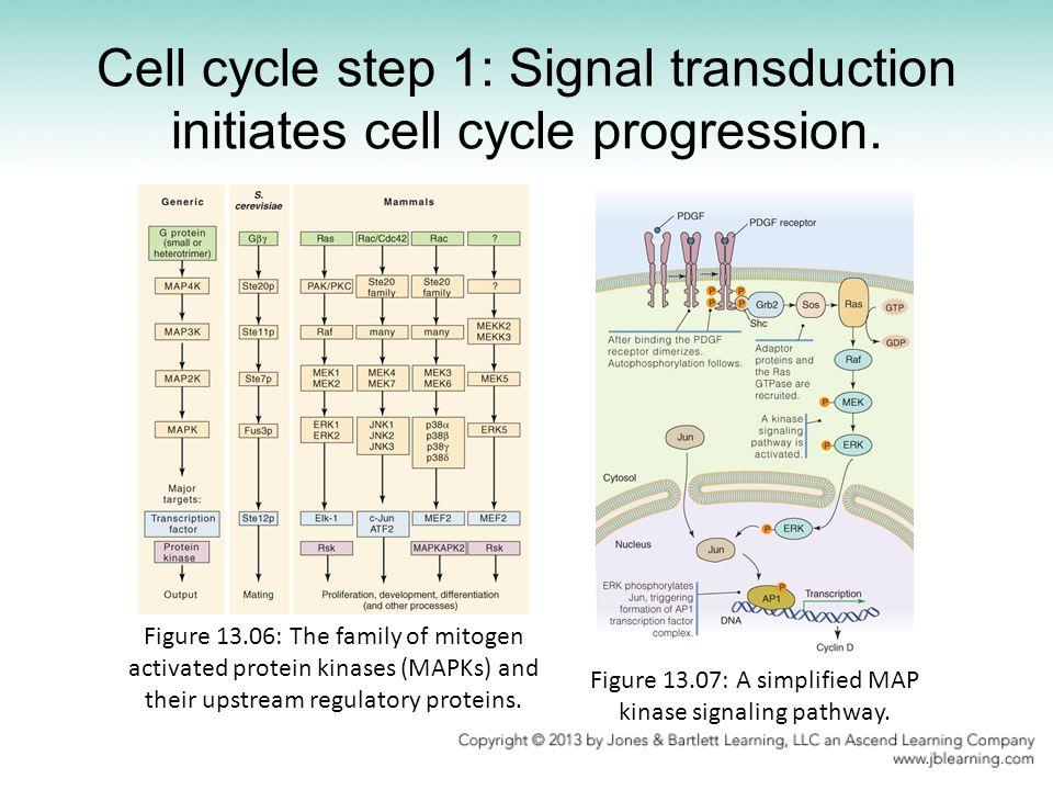 Figure 13.07: A simplified MAP kinase signaling pathway.