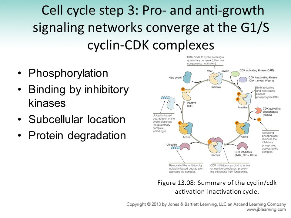 Figure 13.08: Summary of the cyclin/cdk activation-inactivation cycle.
