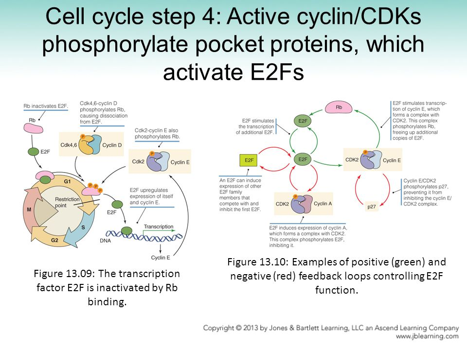 Cell cycle step 4: Active cyclin/CDKs phosphorylate pocket proteins, which activate E2Fs
