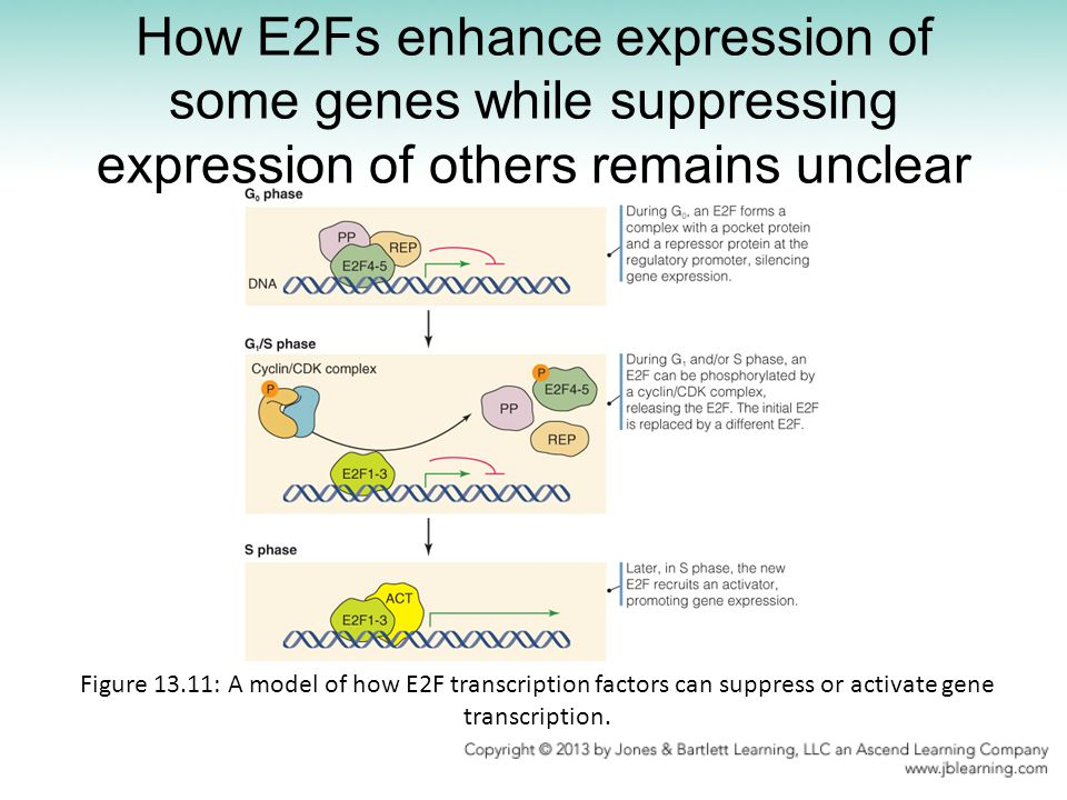 How E2Fs enhance expression of some genes while suppressing expression of others remains unclear