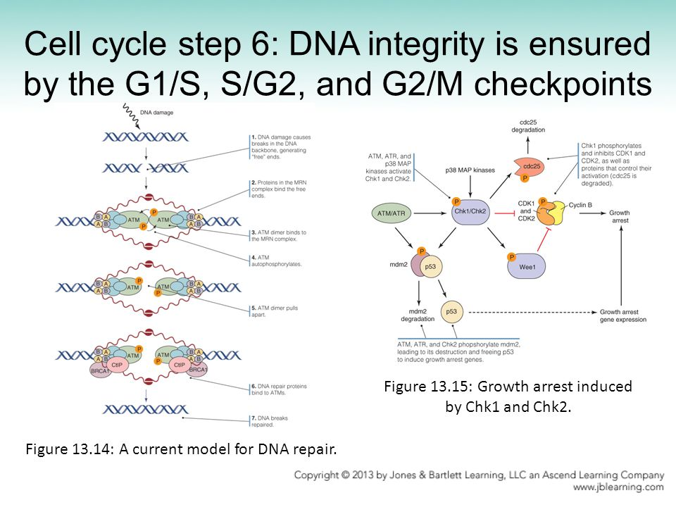 Cell cycle step 6: DNA integrity is ensured by the G1/S, S/G2, and G2/M checkpoints