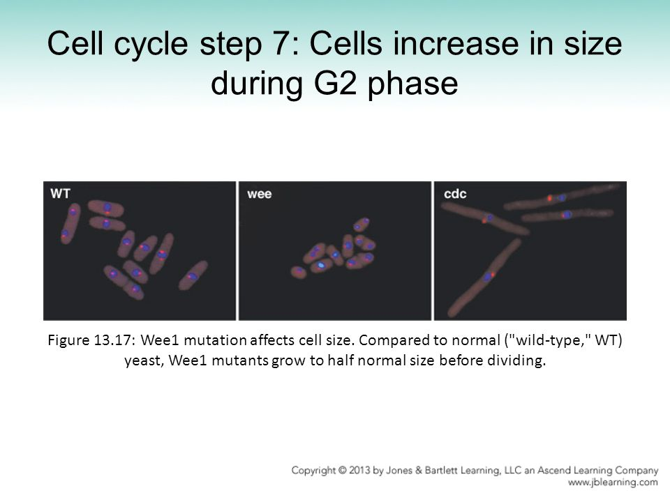 Cell cycle step 7: Cells increase in size during G2 phase