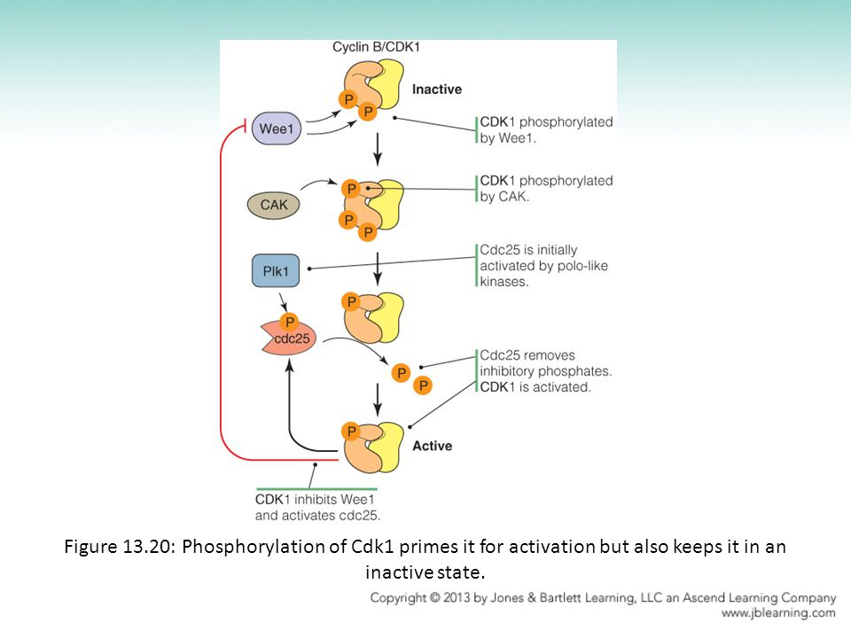 Figure 13.20: Phosphorylation of Cdk1 primes it for activation but also keeps it in an inactive state.