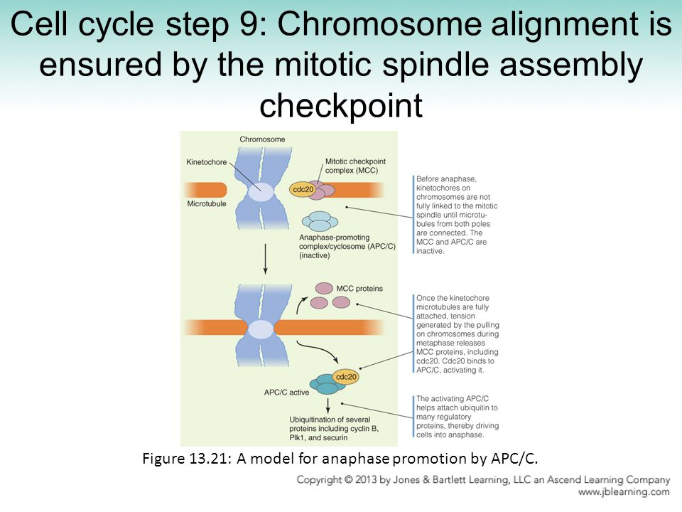 Figure 13.21: A model for anaphase promotion by APC/C.