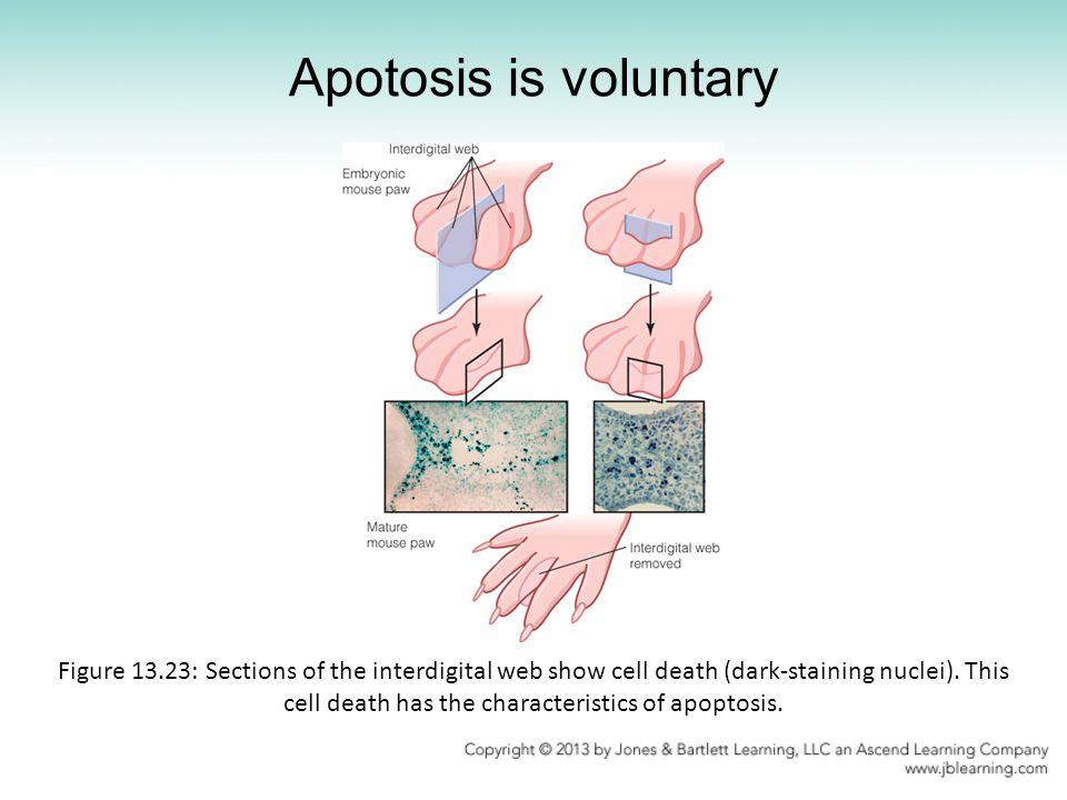 Apotosis is voluntary