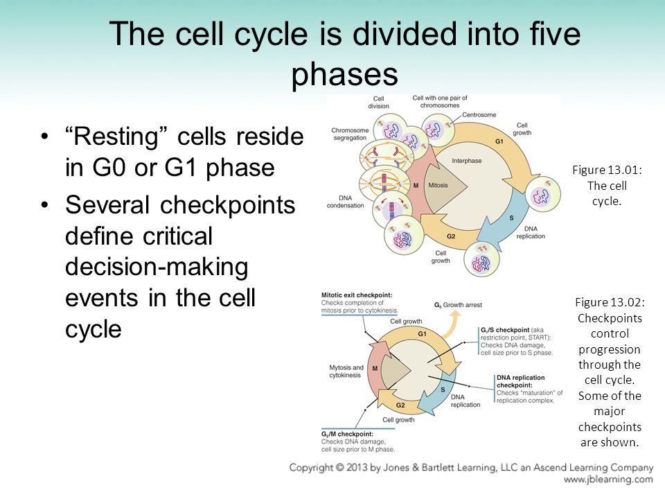 The cell cycle is divided into five phases