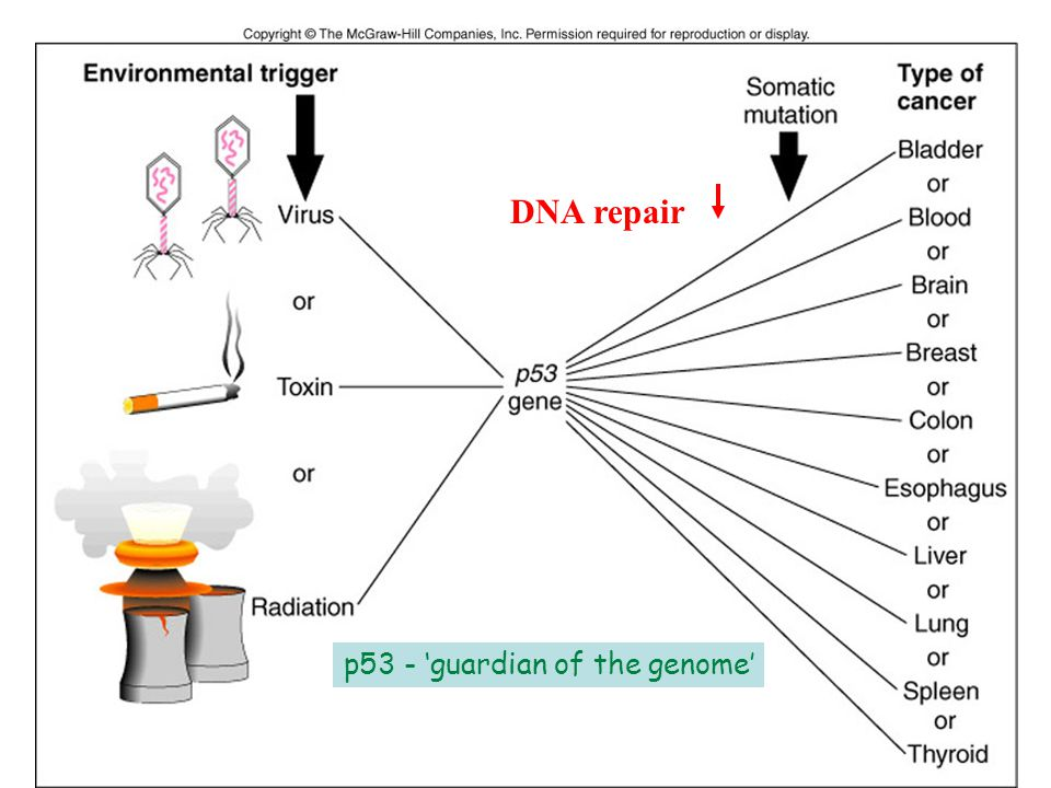 DNA repair p53 - 'guardian of the genome'