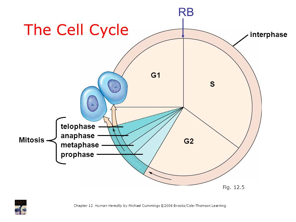 The Cell Cycle RB interphase G1 S telophase anaphase Mitosis G2