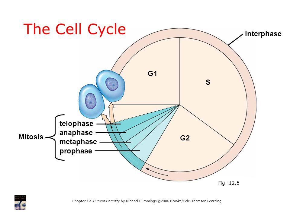 The Cell Cycle interphase G1 S telophase anaphase Mitosis G2 metaphase