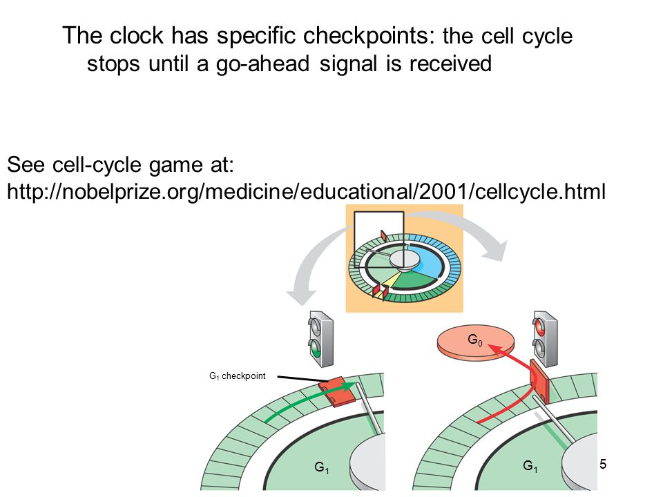 The clock has specific checkpoints: the cell cycle stops until a go-ahead signal is received