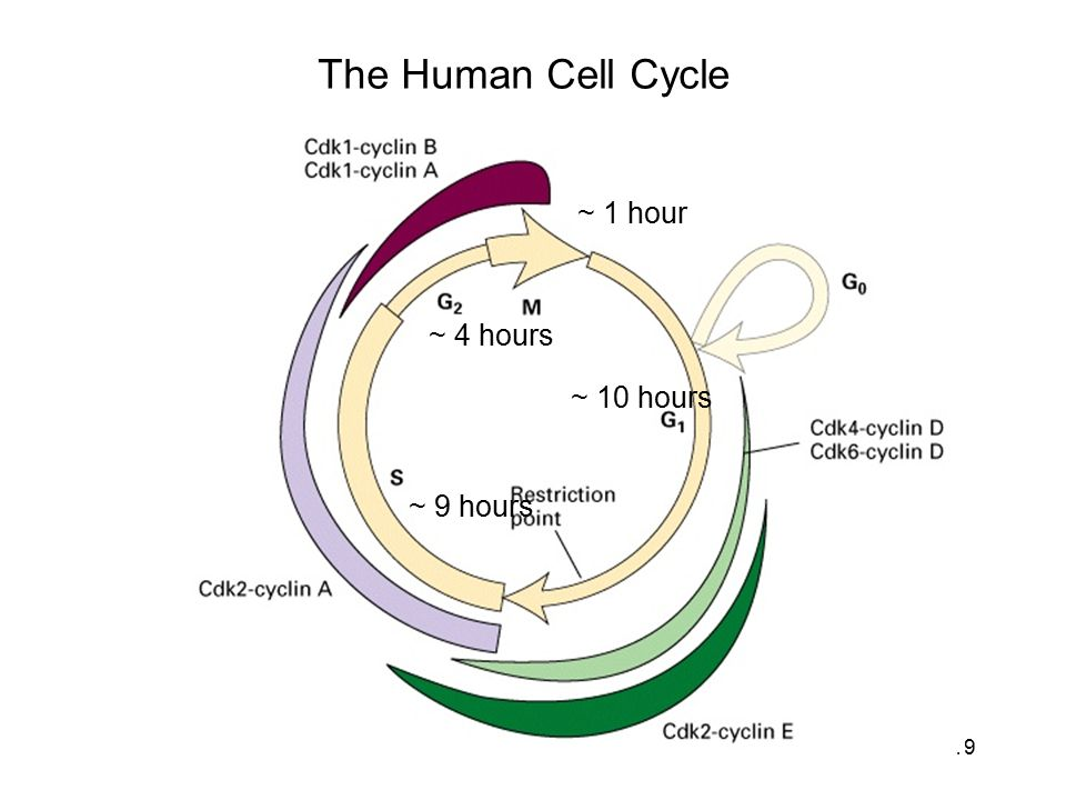 The Human Cell Cycle ~ 1 hour ~ 4 hours ~ 10 hours ~ 9 hours