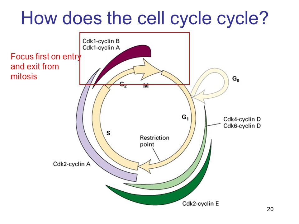 How does the cell cycle cycle