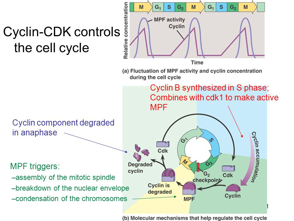 Cyclin-CDK controls the cell cycle