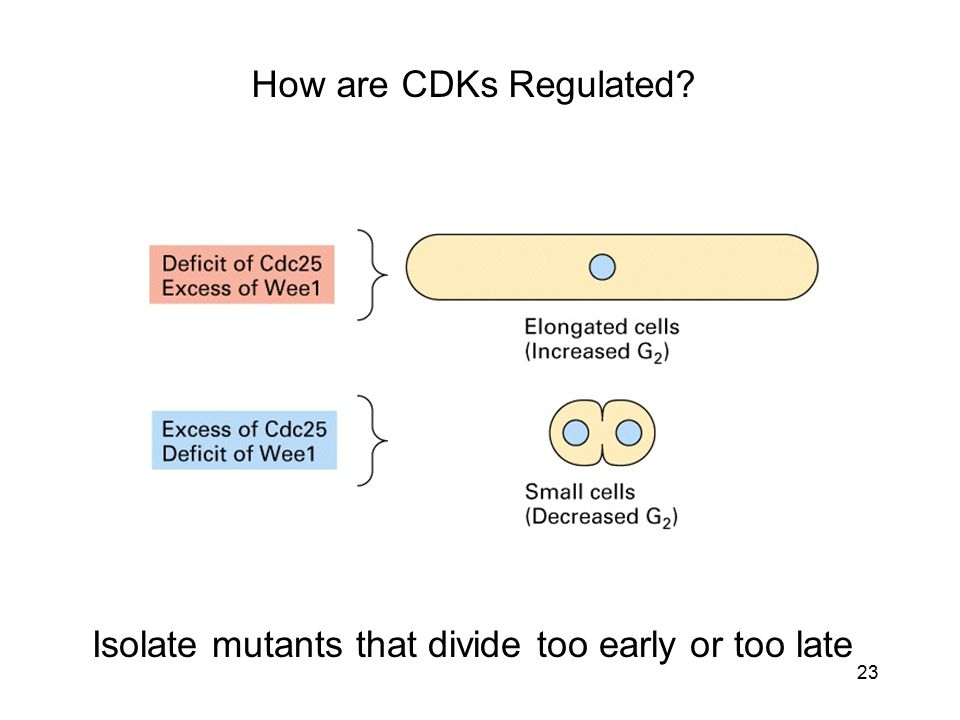 Isolate mutants that divide too early or too late